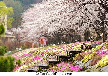 rosa, musgo, campo, con, Cereza, flor, árbol, en, Plano de...