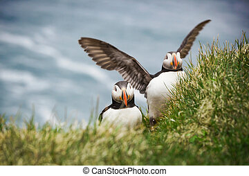 Atlantic Puffins - The beautiful Puffin a rare bird specie...