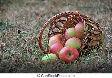 the scattered apples in a basket on a dry grass