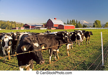 Dairy Cattle, Red Barn and Mount Rainier - Dairy cattle...