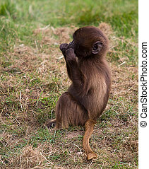 Mother and baby baboon - photo of a mother and baby Gelada...