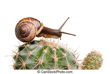 Snail on cactus isolated on white background