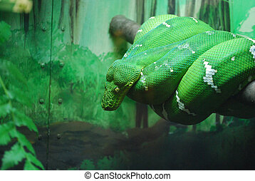 Large Coiled Emerald Tree Boa - Emerald tree boas are...