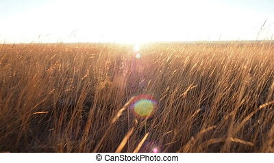 AERIAL: field of golden grass at sunset. Camera moves through the ears of wheat towards the setting sun on horizon. It seems to a first-person view. Somebody takes camera and walks by foot