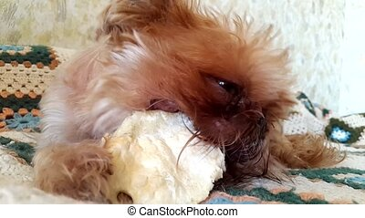 Brussels Griffon Dog chews the treat
