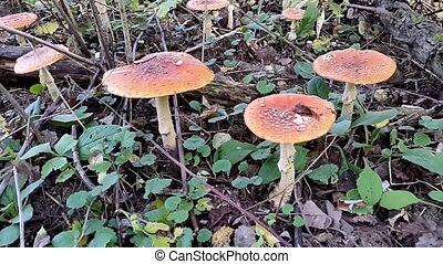 Many fly agaric mushrooms
