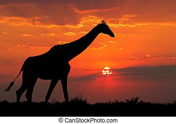 Giraffe silhouette - A giraffe silhouetted against a...