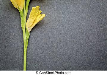 Extracto, flor,  gladiola