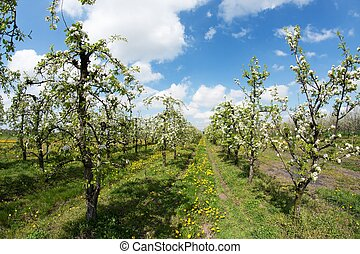 blooming apple orchard in spring 2 - blooming apple trees...