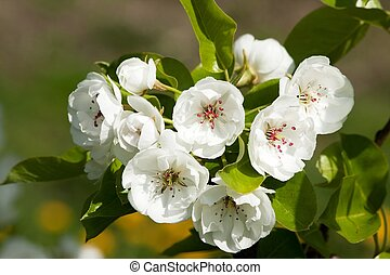 blooming apple trees 5 - white flowers of blossoming apple...