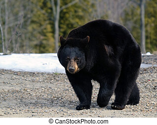 Black bear - A big black bear in early Spring