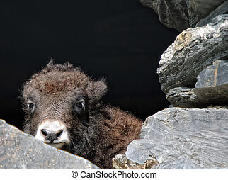 Baby yak - Picture of a baby yak trying to hide behind some...