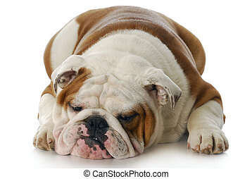 grumpy dog - sad and depressed looking english bulldog...