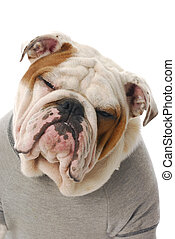 funny looking dog - adorable english bulldog with silly...