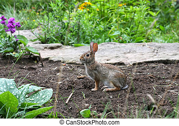 Cottontail Rabbit - Sylvilagus in garden in morning light
