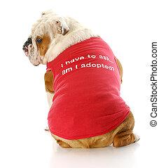 pet adoption - adorable english bulldog wearing red shirt...
