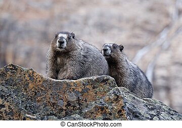 Hoary Marmots in Rocky Mountains. - Jasper National Park....