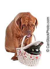 I am going to picnic - Dogue de bordeaux with a basket going...