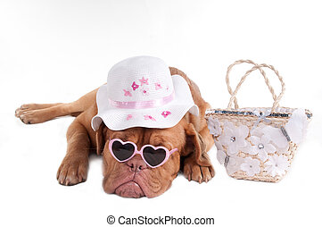 Summer dog - Dogue de bordeaux ready to go on holiday