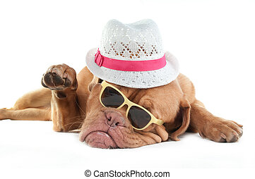 Dogue de bordeaux with hat - Mafia looking dog saying Hi
