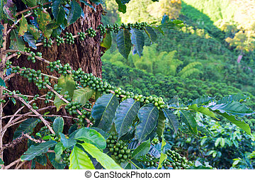 Coffee Plant Closeup - Fruit growing on the branches of a...