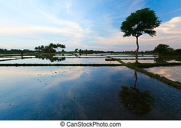 Rice field - Evening photo of a beautiful rice field full of...