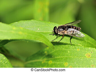 Horse Fly - A horse fly perched on a plant leaf