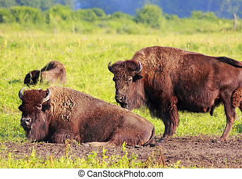 American bisons - American bison Bison bison herd are...