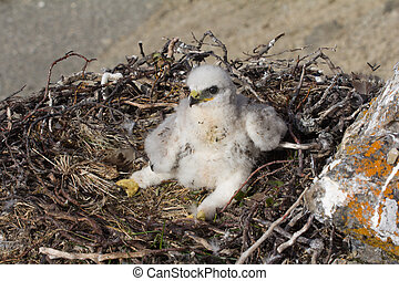 white fluffy nestling birds of prey - The rough-legged...