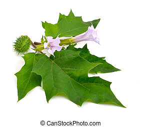 Datura, daturas, devils trumpets, angels trumpets Isolated...