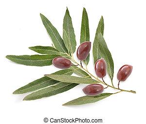 Olive twig isolated on white background.