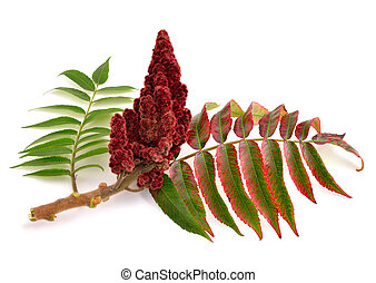Drupes of a staghorn sumac - Drupes of a staghorn sumac...