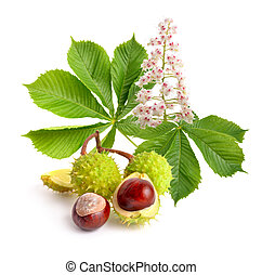 Horse-chestnut (Aesculus) fruits with leawes and flower....