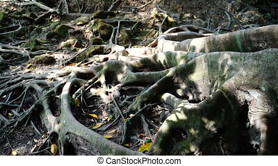 Roots outside of ground in shadow. - Crooked thick roots...