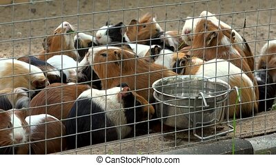 Active beautiful guinea pigs animals in zoo cage. Closeup. -...