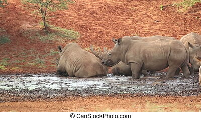 White rhinoceros wallowing in mud - White square-lipped...