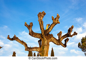 Pruned Tree on a Blue Sky with Clouds