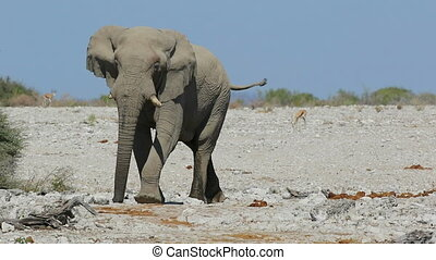 African elephant walking - Large African bull elephant...