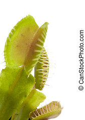 Venus flytrap plant isolated on white background