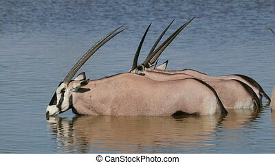Gemsbok antelopes in water - Gemsbok antelopes (Oryx...