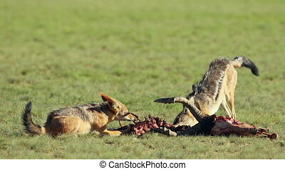 Scavenging black-backed jackals - Black-backed jackals...