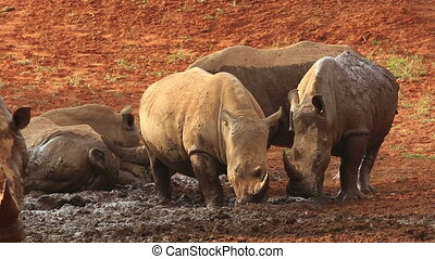 White rhinoceros wallowing in mud - White (square-lipped)...