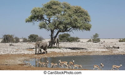 Elephants and springbok antelopes - - African elephants...
