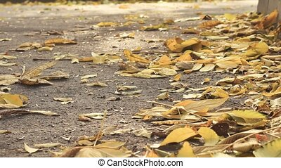close-up of Yellow leaves on the road and foliage on autumn...