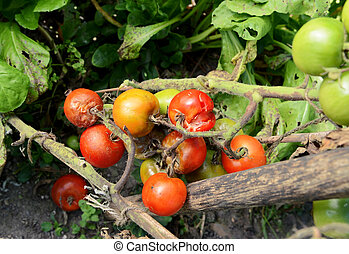 Split and blight-afflicted cherry tomatoes - Truss of split...