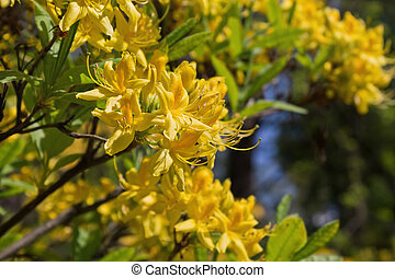 yellow rhododendrons in a park closeup