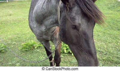 Horse grazing on green grass in the countryside - Close up...