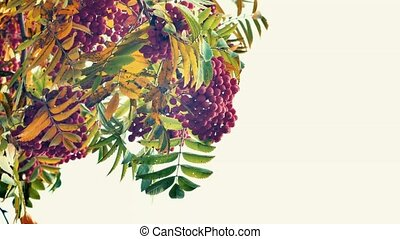 Closeup of orange Rowan berries or Mountain Ash tree with...