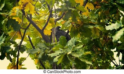 A black bird sitting in leaves Autumnal Oak Leaves Late...