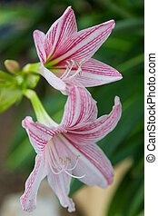 close up of Hippeastrum flower white and pink on green...